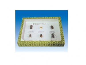 鞘翅目科昆虫四种