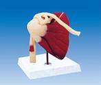 Cardiopulmonary resuscitation simulates the use of human anatomy model