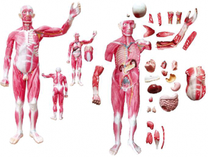 ZM1042-4 The dissection model of whole body muscles attach with viscera